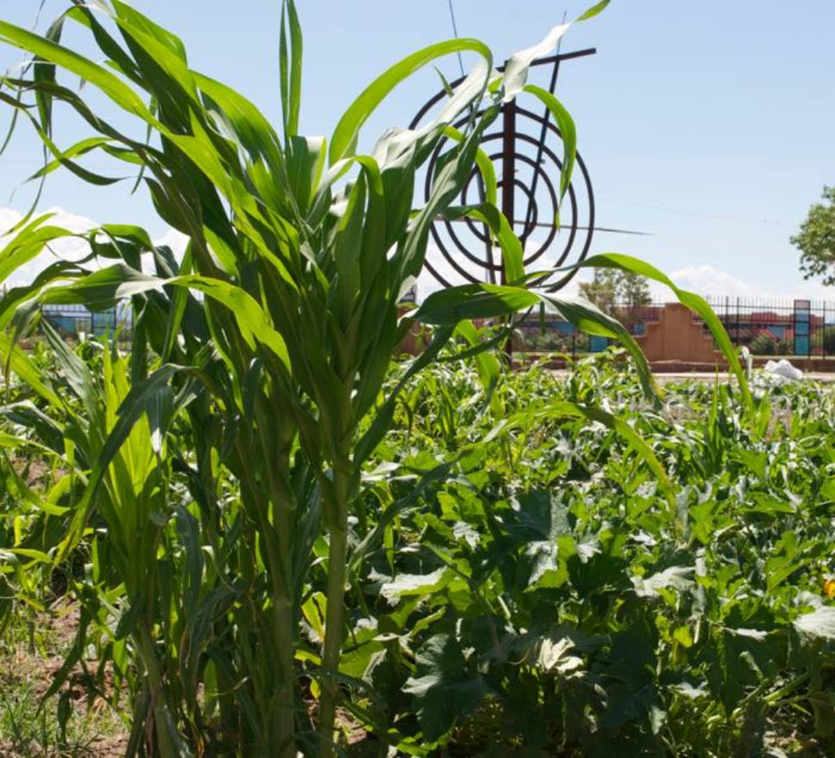 Tourists and locals can learn traditional agriculture practices in the Resilience Garden at the Indian Pueblo Cultural Center where one of the many crops is corn, one of the three sisters.