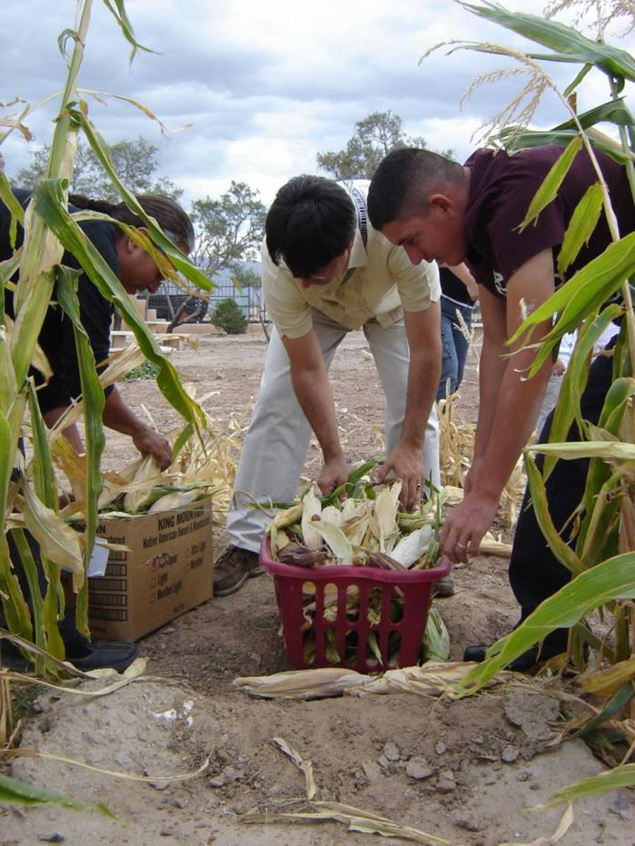 Harvesting is a community activity in the Resilience Garden at the Indian Pueblo Cultural Center where tourists and locals can learn traditional agriculture practices.