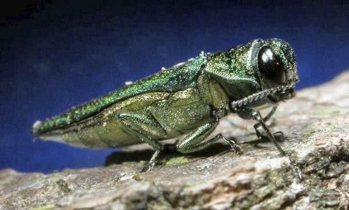Entomologists hope the emerald ash borer, above, can be kept in check by stingless wasps.