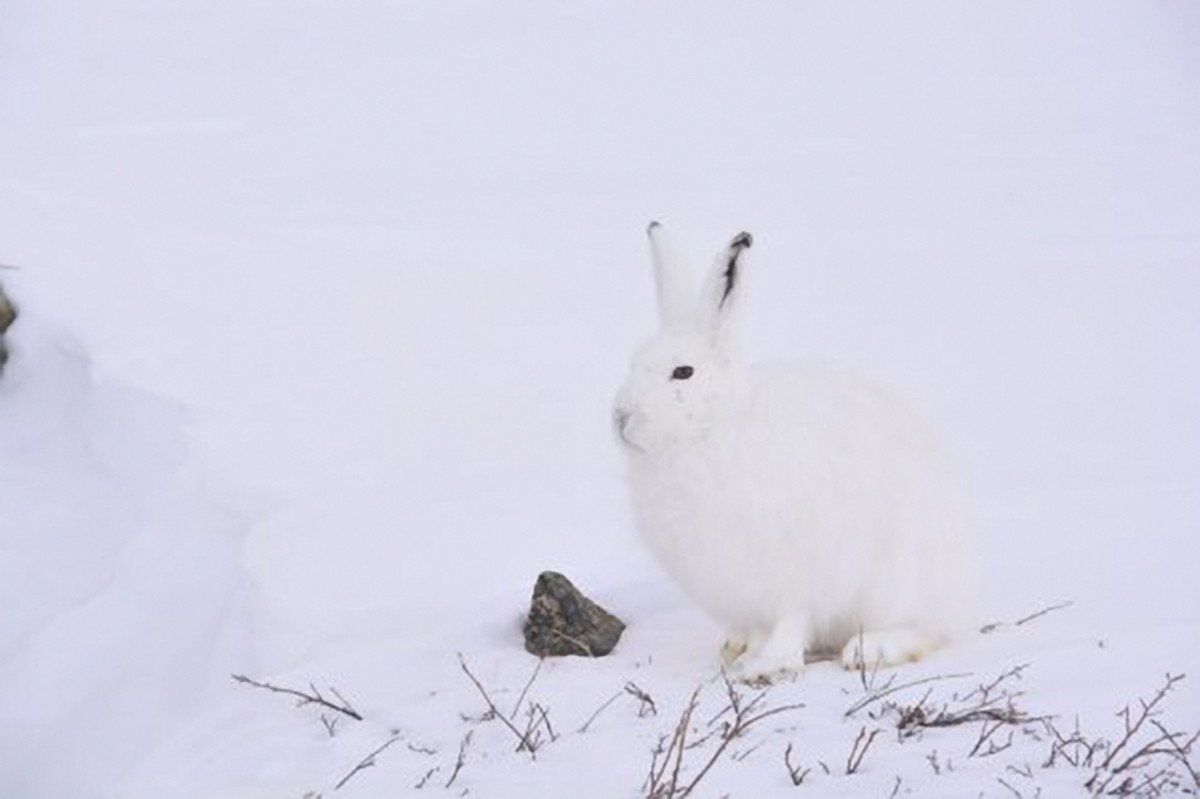 3rd place, April 2017: Arctic Hare by Pudloo Pitsiulak