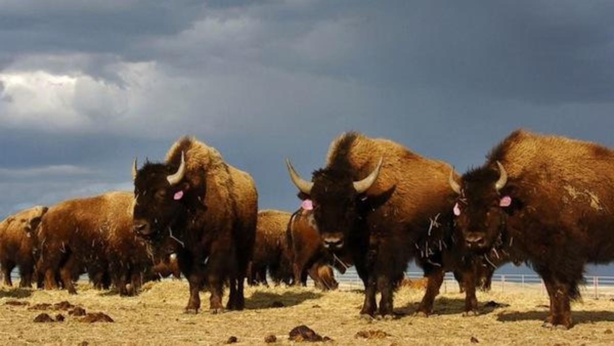 In this April 24, 2012 file photo, a herd of bison roam on the Fort Peck Reservation near Poplar, Mont. Almost a decade after they were first captured from Yellowstone National Park, a group of wild bison that has spent years in limbo after government officials could find no place to relocate the animals were due to be shipped from a ranch near Bozeman Wednesday, Nov. 12, 2014 for placement on the Fort Peck Indian Reservation.