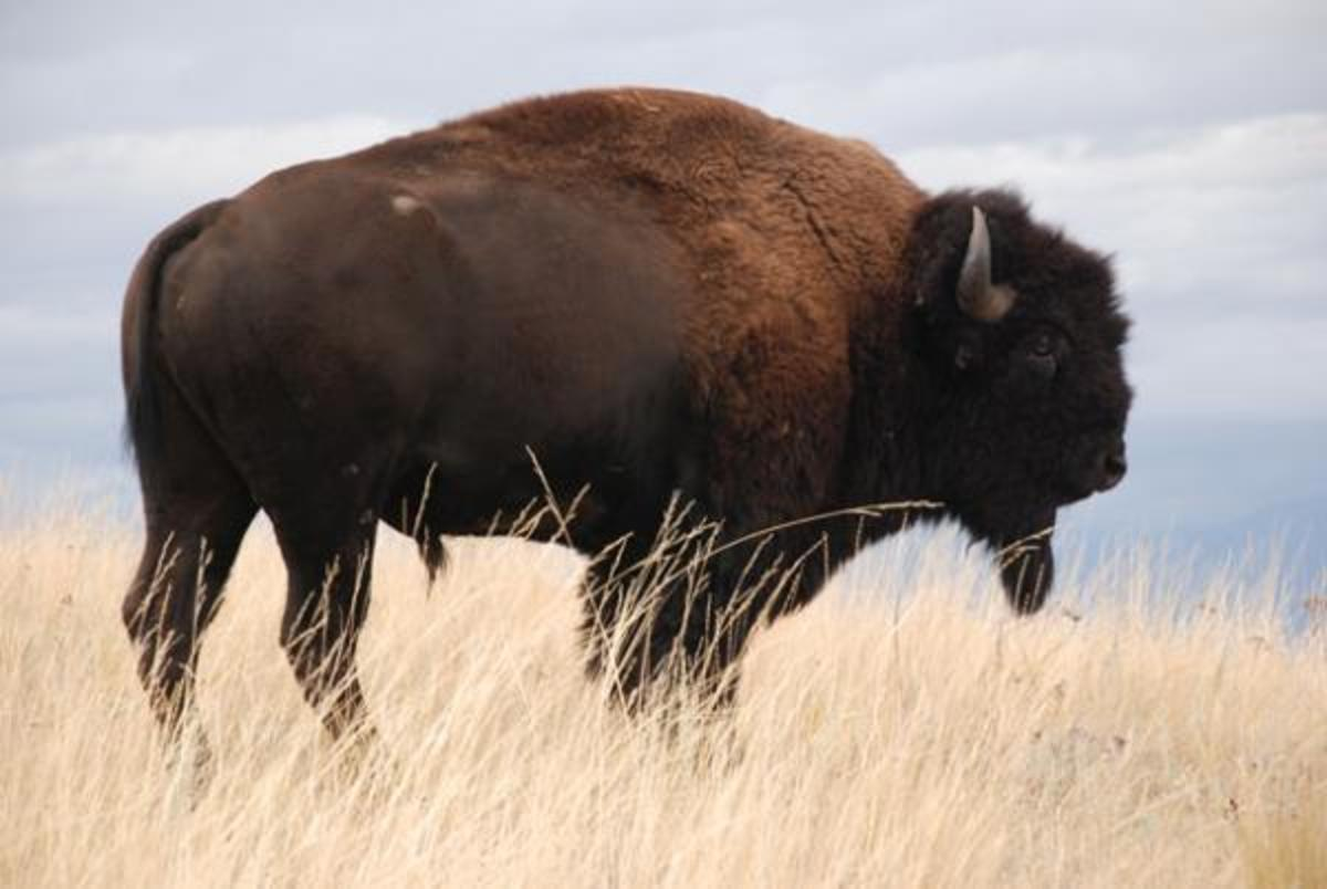 Bison, once numbering just 700 after being decimated by the millions, now inhabit all 50 states.