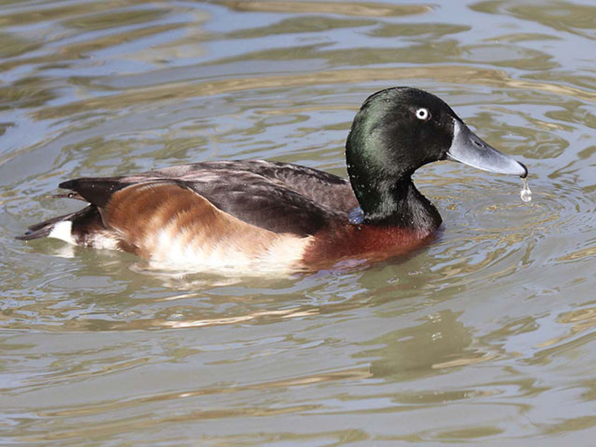 Baers pochards are closely related to domesticated ducks.