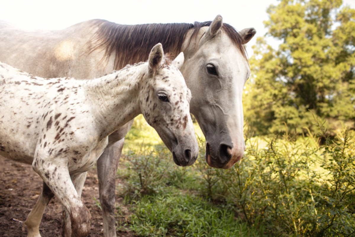 Spotted Appaloosa Curly-line foal and her Mother at Sacred Way Sanctuary.