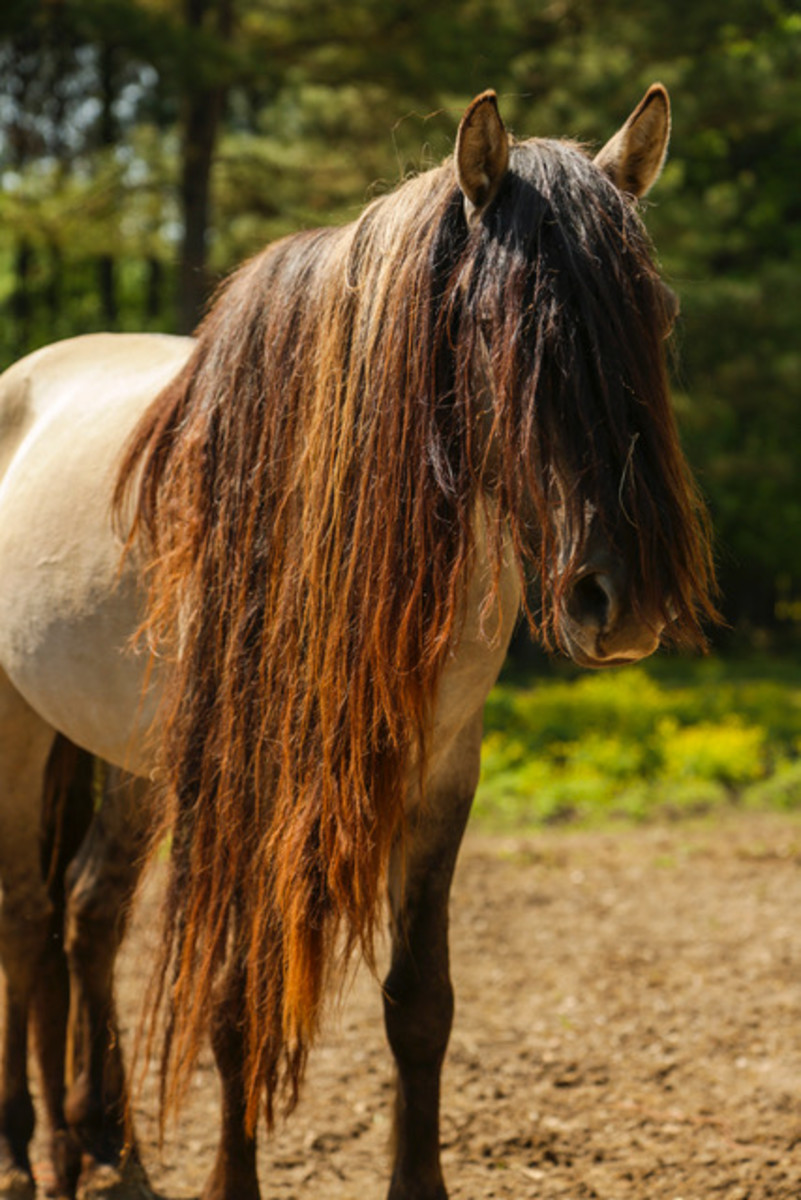 """Storm"" is from South Dakota. He has stripped legs, a dorsal stripe, and long hair."