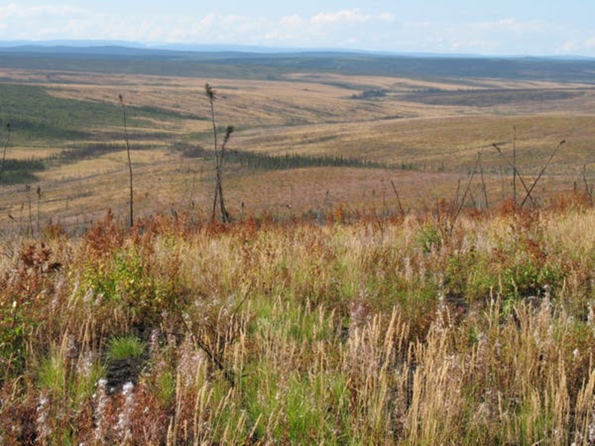 Pictured: Young-burned black spruce forest regenerating to non-forested tundra.