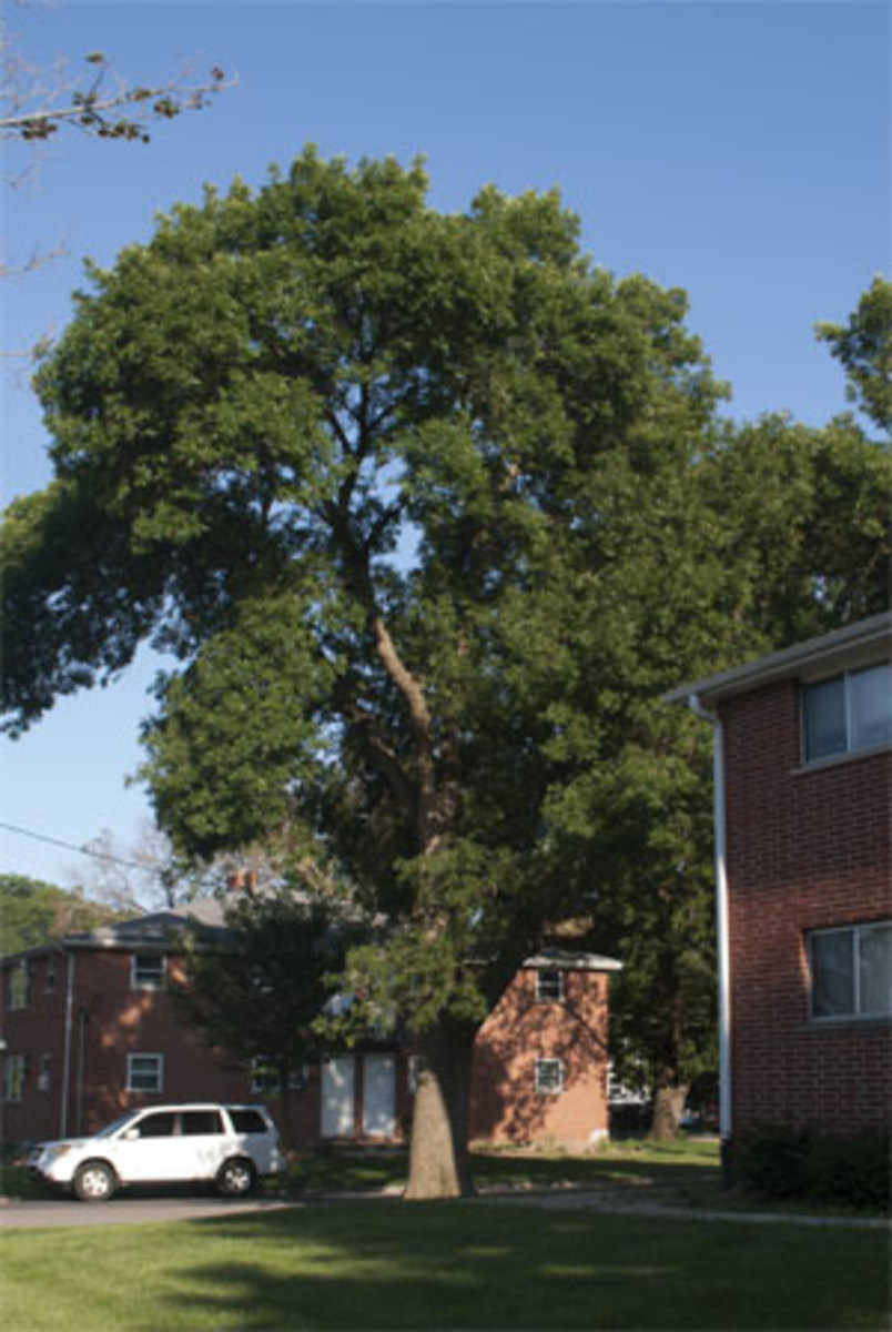 This ash tree shades Wolf's apartment, but it has emerald ash borer. The city regularly treats the tree for the disease, and so far it's doing well. Losing this tree would cause Wolf's apartment to heat up even more.
