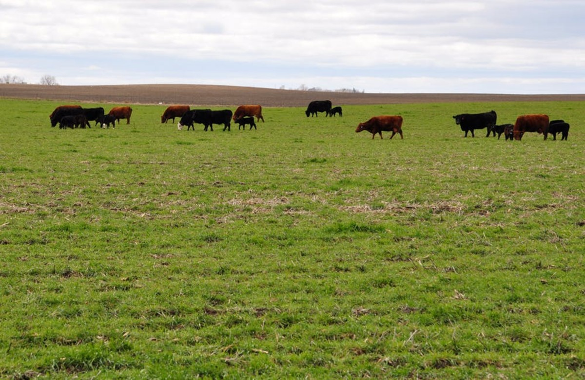 Pictured: Cattle grazing on cover crops in Sac County, Iowa.