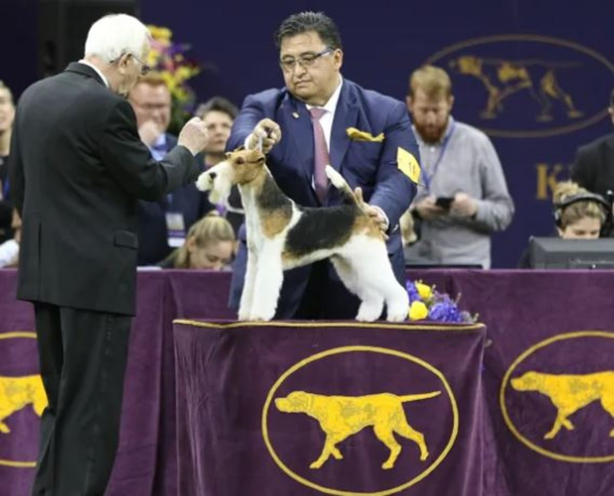 King took home the top prize. (Photo credits: Jack Grassa / Westminster Kennel Club)