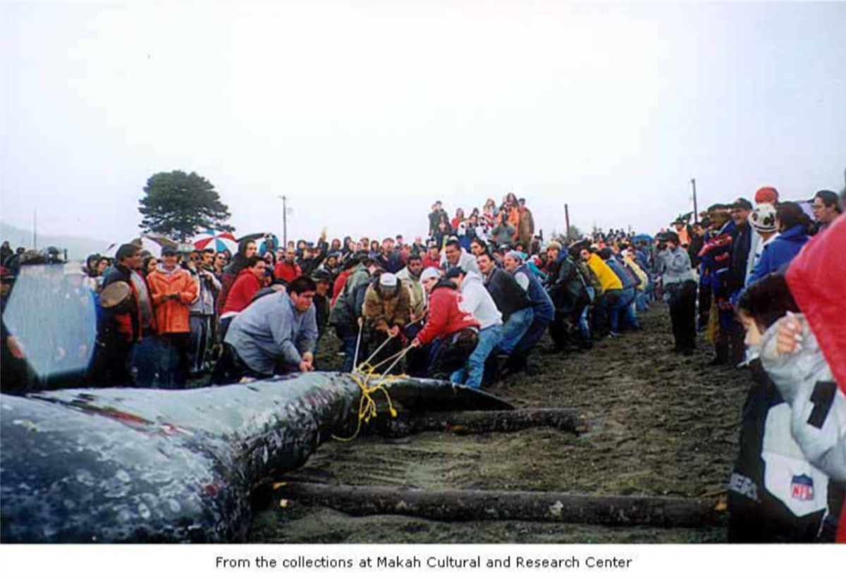 Members of the Makah tribe pull the gray whale they hunted ashore at Neah Bay on May 17, 1999.
