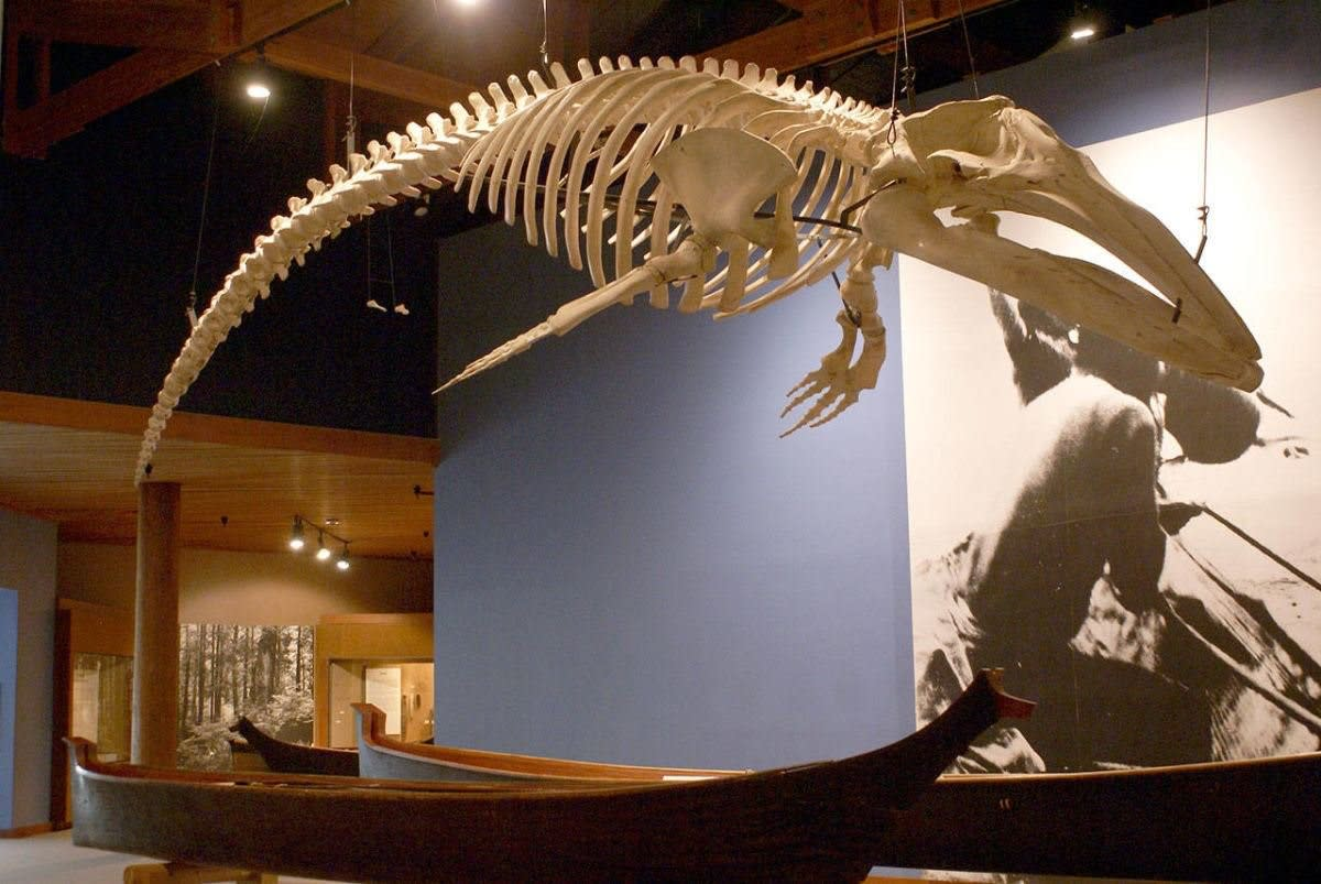 The skeleton of the gray whale from the 1999 hunt is now on display at the Makah Cultural and Research Center. (Photo from the Makah Cultural and Research Center.)