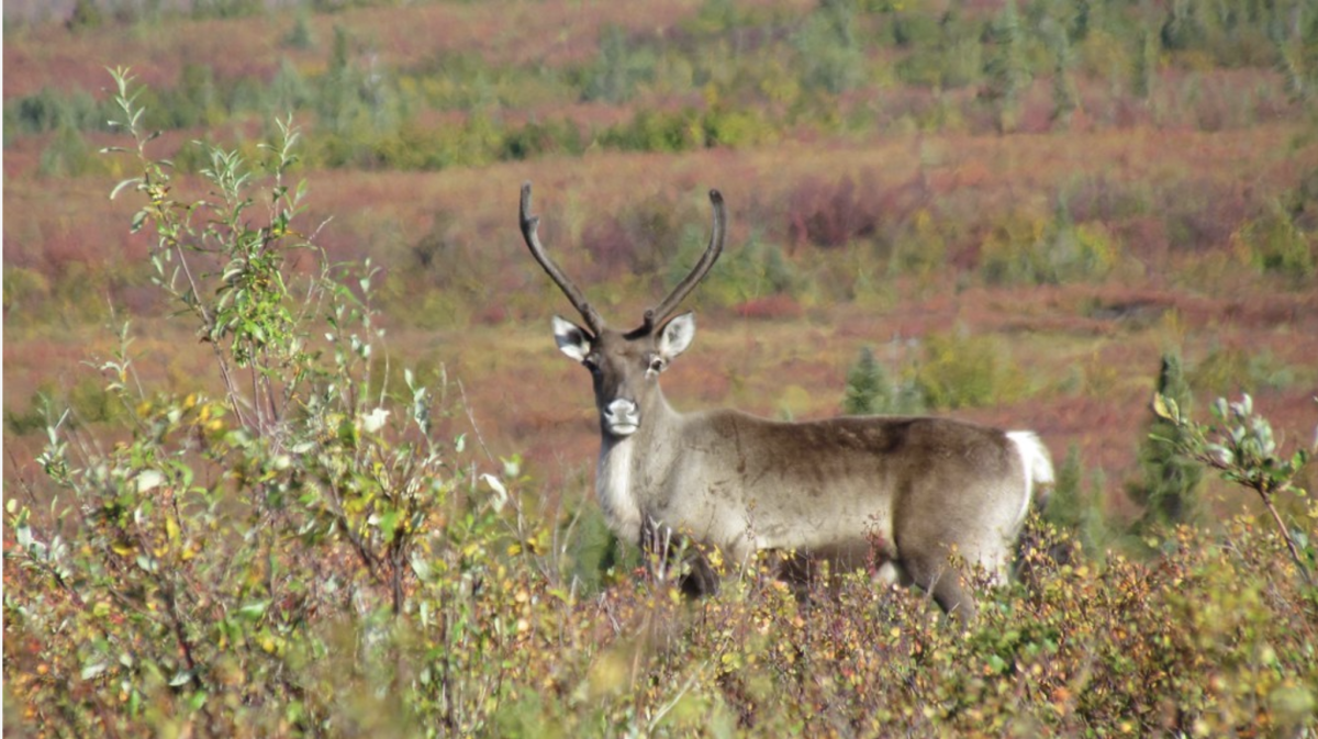 Caribou, fall colors, (Western Arctic National Parklands, courtesy of Creative Commons)