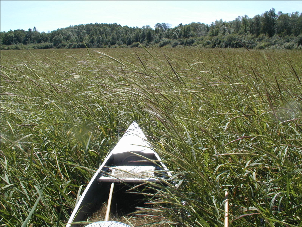 Wild rice harvesting (Photo by Eli Sagor, courtesy of Creative Commons)