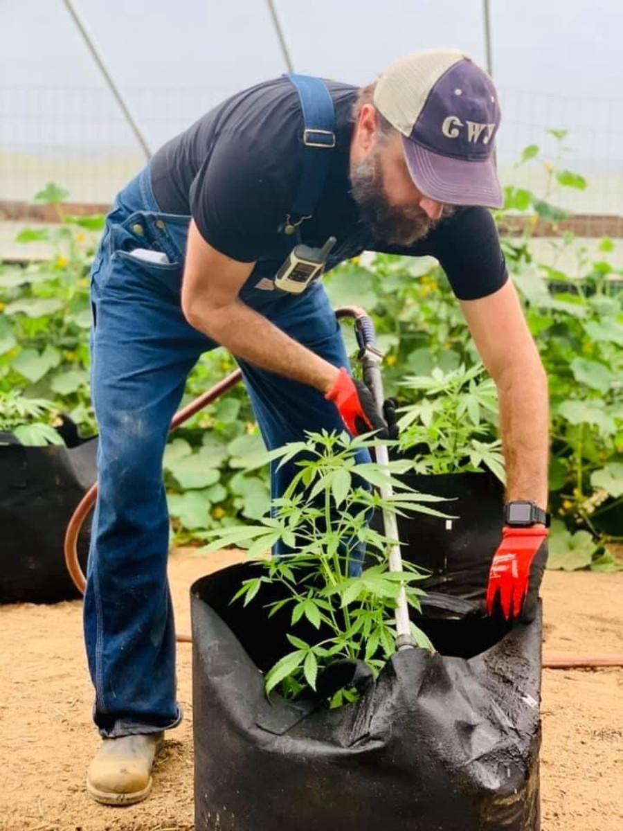 Eastern Band of Cherokee Indians member Travis Long, whose father farms hemp, cares for one of his plants. Long's father, Harold Long, submitted legislation to put marijuana to a referendum, which should be heard next month. (Photo by Nancy Long)
