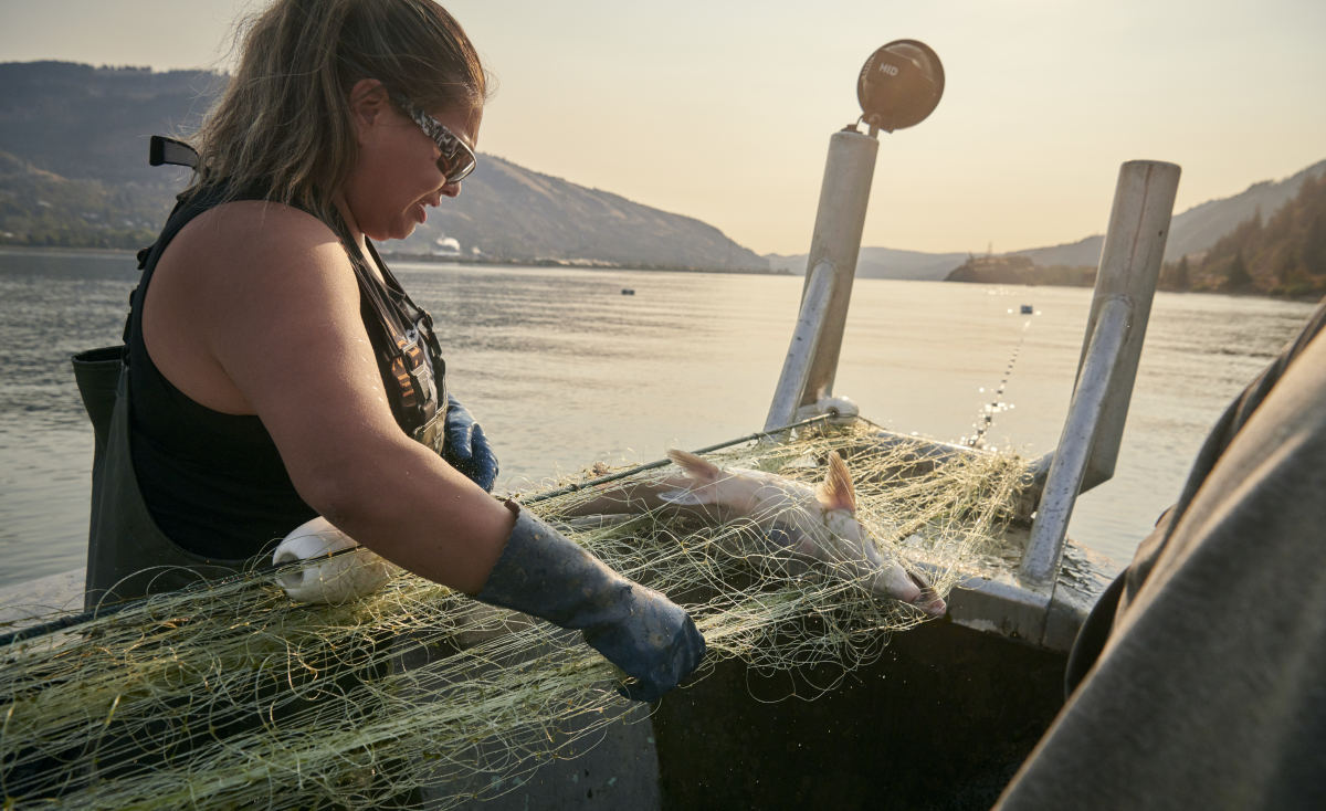 Minnie Goudy gillnet fishes the Columbia River for salmon in October off of the Stanley Rock Treaty Fishing Access Site in Hood River. In 2020, COVID-19 added challenges to harvesting salmon runs that are already lower than average. Lack of demand because of restaurant closures has pushed down prices. Photo credit: Leah Nash: