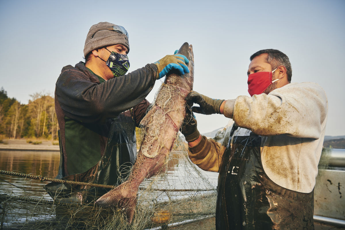 Sam George (r) and Damien Winnier remove a salmon from a gillnet in October. Restaurant closures, a result of the COVID-19 pandemic, have reduced the demand for salmon. Photo credit: Leah Nash: