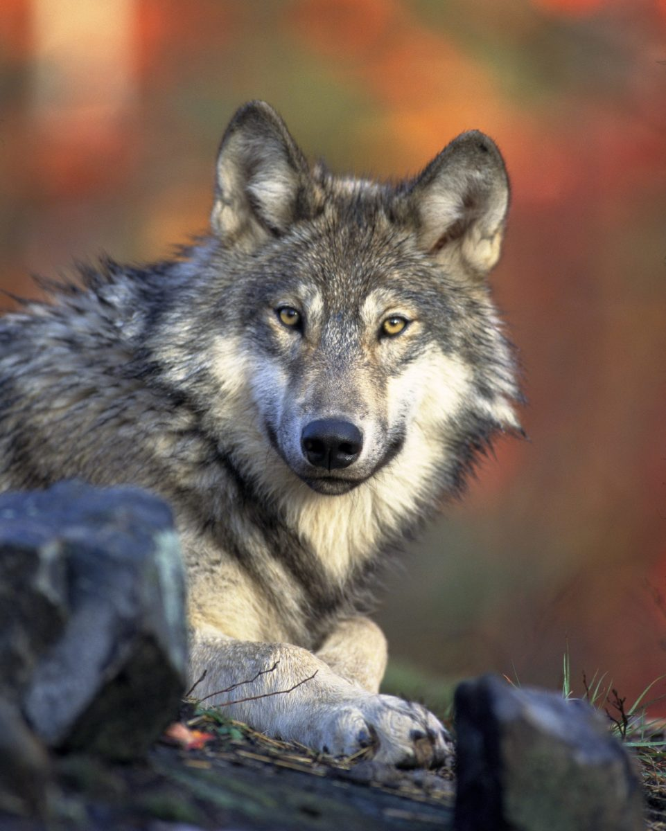 The North American gray wolf last year lost protection on the U.S. Fish and Wildlife Services' endangered species list, but conservationists are suing to overrule the decision. (Photo courtesy of Gary Kramer/U.S. Fish and Wildlife Service, via pexels.com)