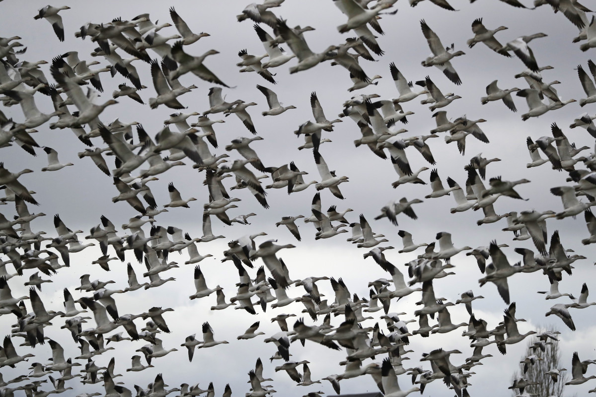 In this Dec. 13, 2019, file photo, thousands of snow geese take flight over a farm field at their winter grounds, in the Skagit Valley near Conway, Wash. The Biden administration on Monday, March 8, 2021, reversed a policy imposed under former President Donald Trump that drastically weakened the government's power to enforce a century-old law that protects most U.S. bird species. Trump ended criminal prosecutions against companies responsible for bird deaths that could have been prevented. (AP Photo/Elaine Thompson, File)