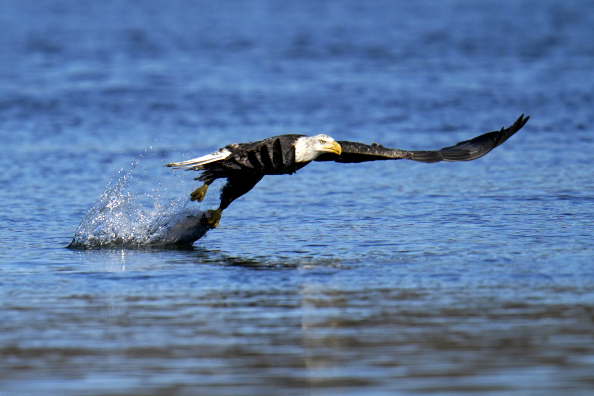 In this Nov. 20, 2020, photo a bald eagle grabs a fish from the Susquehanna River near the Conowingo Dam, in Havre De Grace, Maryland. The number of U.S. bald eagles has quadrupled since 2009, with more than 300,000 birds soaring over the lower 48 states, government scientists said. (AP Photo/Julio Cortez)