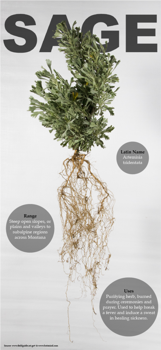 A Great Basin sagebrush, Artemisia tridentata, and its intricate root system. Sagebrush is used in many tribal cultures as a medicinal plant, or for ceremonial burning. (Graphic by Alyssa Stokovich | Photo by Hunter Wiggins)