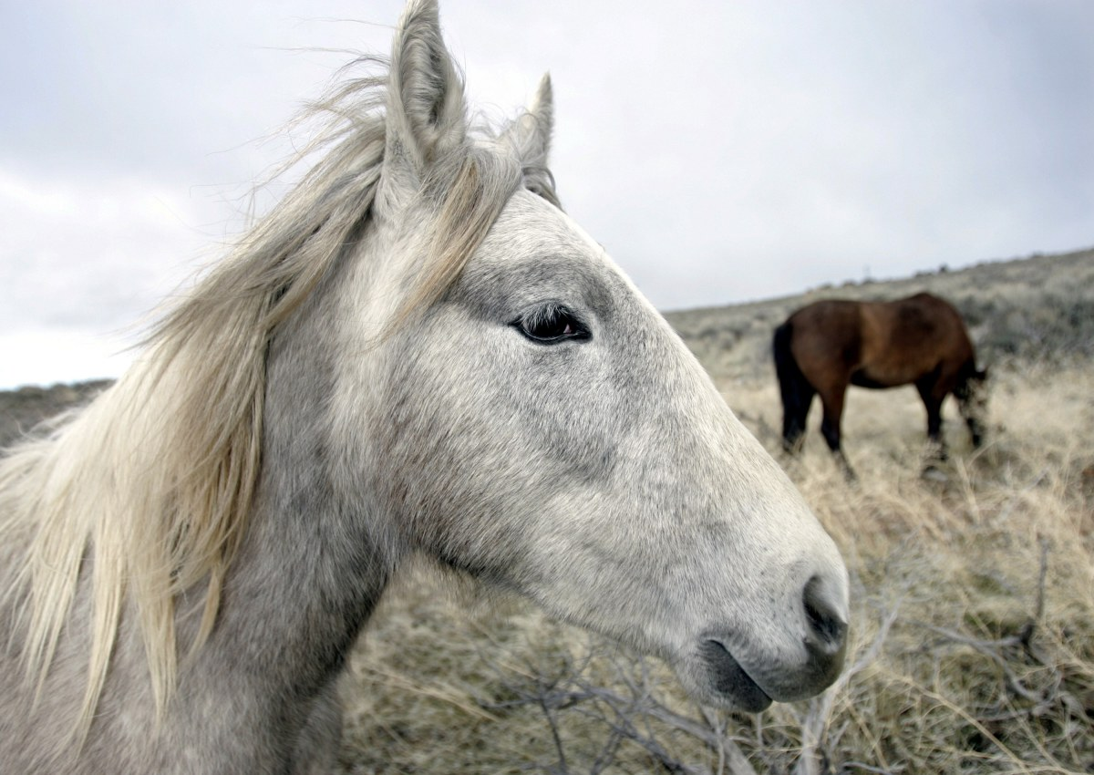 A herd of wild horses grazes near the Carson River in Carson City, Nev. Federal land managers say it will take 20 years and cost more than $1 billion over the first six years alone to slash wild horse populations to sustainable levels necessary to protect U.S. range land. (Chad Lundquist/Nevada Appeal via AP, File)