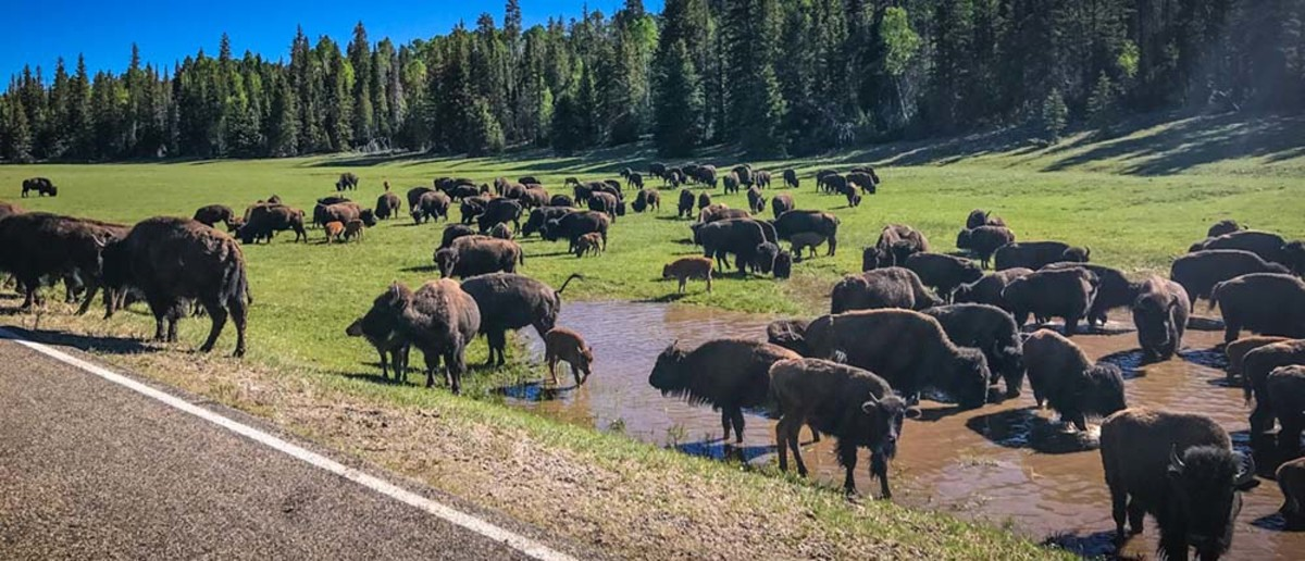 Bison congregate around water next to State Route 67 in Little Park in the Grand Canyon. There are about 600 bison across the North Rim now, but experts fear the herd could grow to 1,500 in 10 years if it is not managed. (Photo courtesy Grand Canyon National Park)