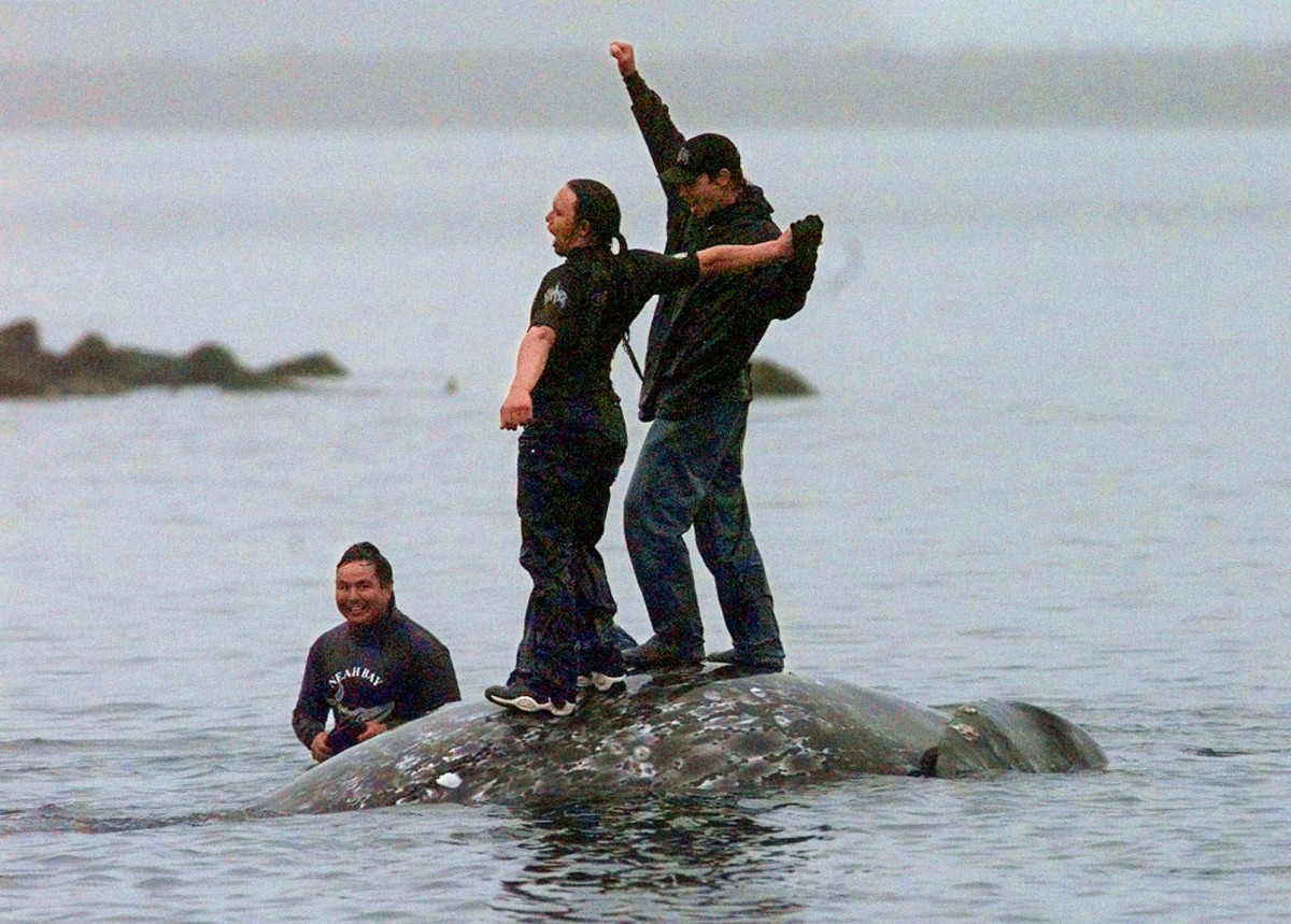 In this May 17, 1999, file photo, two Makah Indian whalers stand atop the carcass of a dead gray whale moments after helping tow it close to shore in the harbor at Neah Bay, Wash. An administrative law judge on Thursday, Sept. 23, 2021, recommended that the Makah be allowed to resume whaling along the coast of Washington state, as their ancestors did. (AP Photo/Elaine Thompson, File)