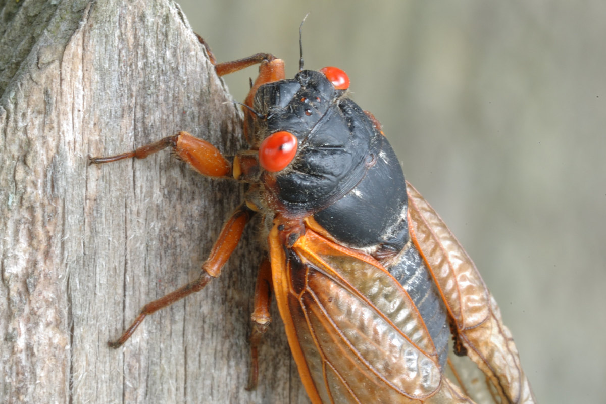 Brood X cicadas are expected to emerge in late April or early May 2021 after spending 17 years underground. (Photo courtesy of JanetandPhil, Creative Commons)