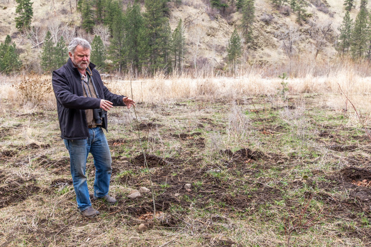Carl Scheeler, wildlife program manager for the Confederated Tribes of the Umatilla Indian Reservation, shows saplings planted near Pendleton as part of a beaver restoration project on tribal land. (Photo by Kathy Aney, Underscore)