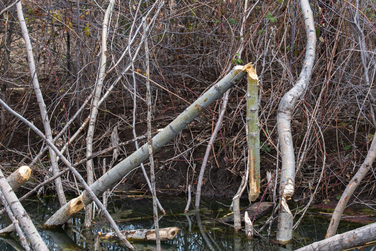 Gnawed trees in the Umatilla River are evidence of beavers. Some landowners consider beavers a nuisance because the aquatic rodents fell trees and block waterways. But biologists say that without this keystone species, the ecosystem will unravel. (Photo by Kathy Aney, Underscore)