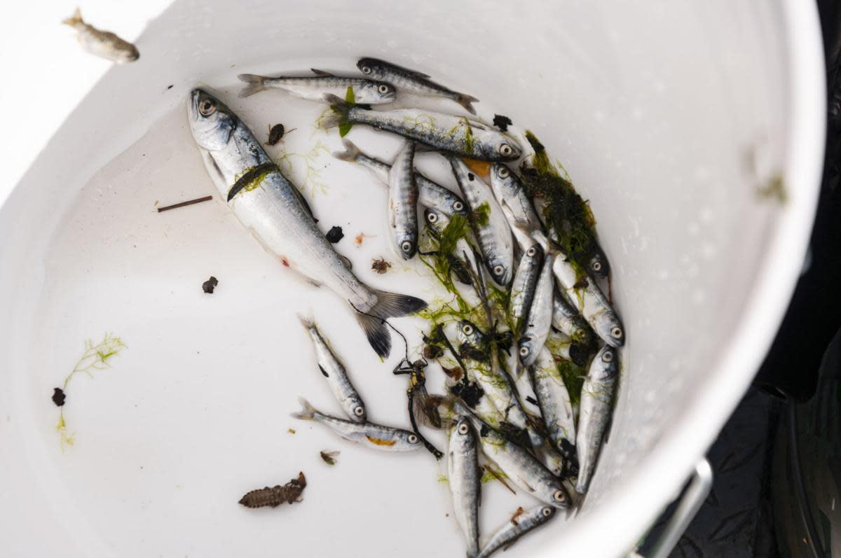 """The Yurok Tribe is enduring what it calls a """"catastrophic"""" die-off of juvenile salmon on the Klamath River. Unlike other fish kills, this one is occurring throughout the lower watershed, not just in the hotspot for fish parasite C. shasta downstream of Iron Gate Dam. (Photo by Alex Schwartz/Herald and News)"""