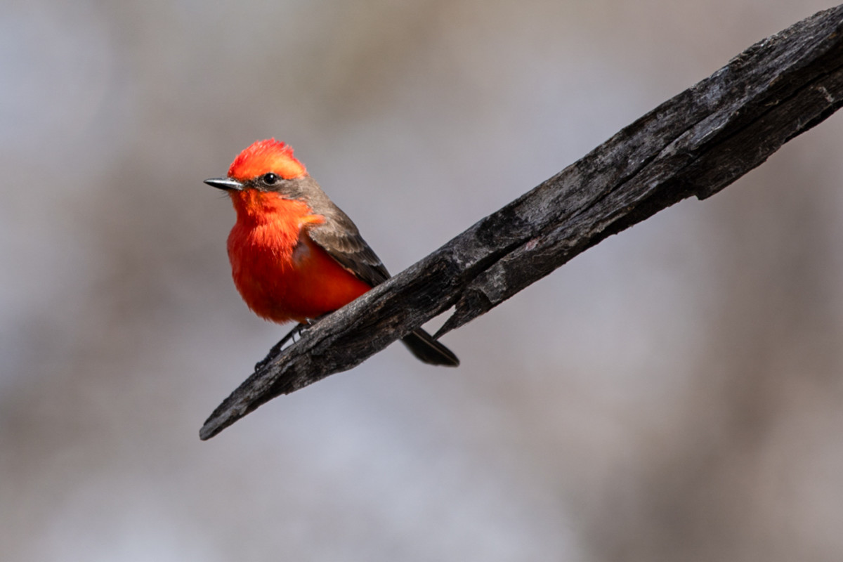 A vermilion flycatcher perches near a pond in the San Bernardino National Wildlife Refuge on March 13, 2021. (Photo by Isaac Stone Simonelli/Cronkite Borderlands Project)