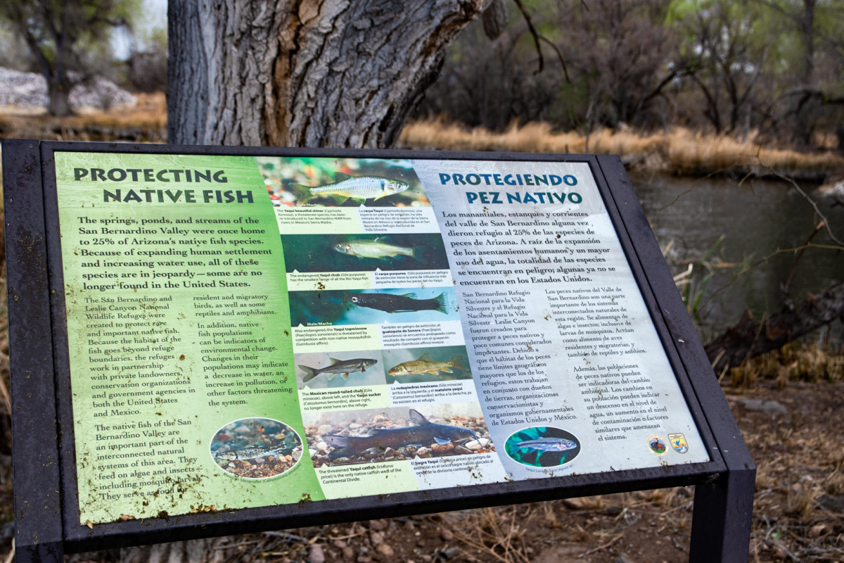 The man-made wetlands of the San Bernardino National Wildlife Refuge are an important habitat for various types of wildlife, including five endangered species of fish. (Photo by Isaac Stone Simonelli/Cronkite Borderlands Project)