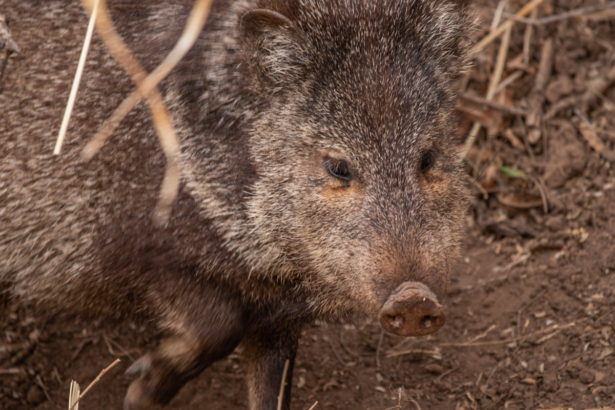 A javelina checks out the San Bernardino National Wildlife Refuge on March 13, 2021. (Photo by Isaac Stone Simonelli/Cronkite Borderlands Project)