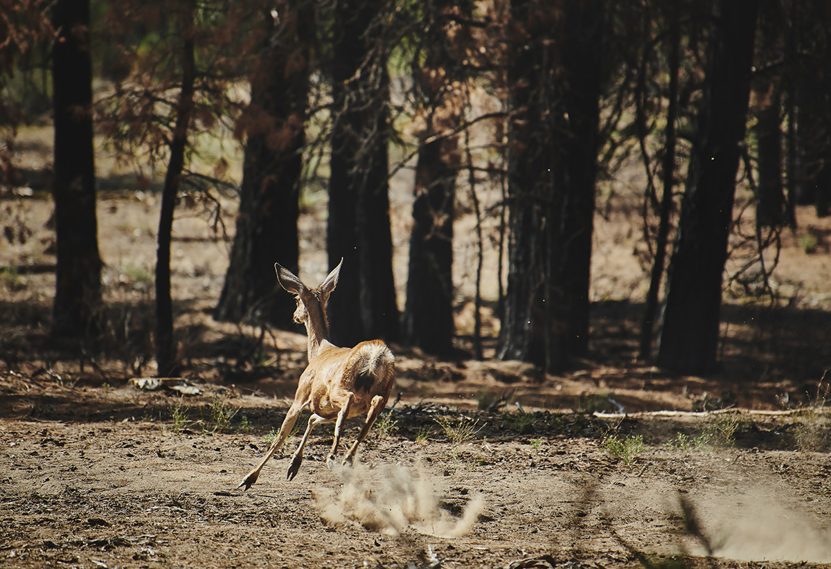 During a recent scouting mission to view the damage done by the Bootleg Fire, members of the Klamath Tribes spotted deer in burned areas, proof that life remains. (Leah Nash/Underscore.news)