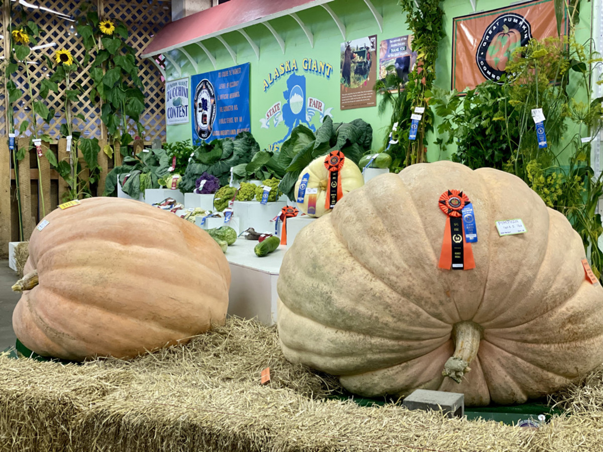 Two pumpkins in the Alaska Giant Vegetables display. The one on the right weighs 1,065.5 lbs. Sept. 5, 2021. (Photo by Joaqlin Estus, Indian Country Today).